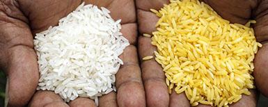 arroz dorado ensayo campo