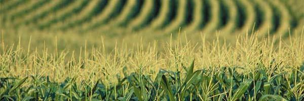 Cultivo maíz MG UE