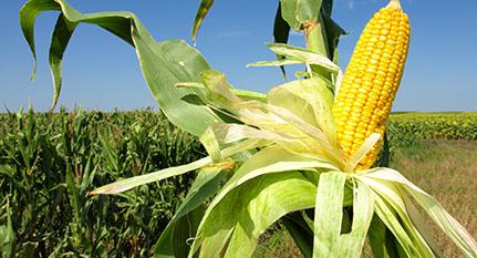 Genoma maíz