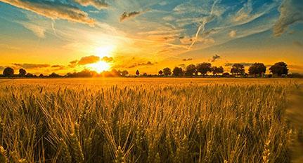 Campo trigo