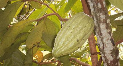Cacao genoma