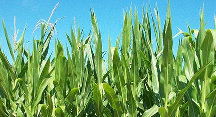 Variedad de maíz
