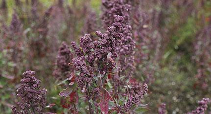 Quinoa planta