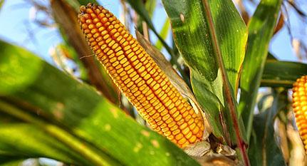 Hibridación maíz