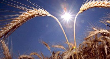 trigo sol