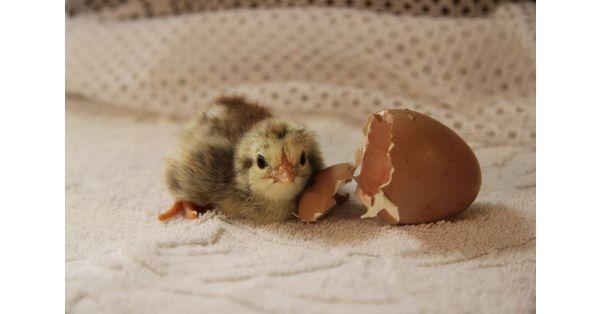 La alimentación temprana para los pollitos para carne