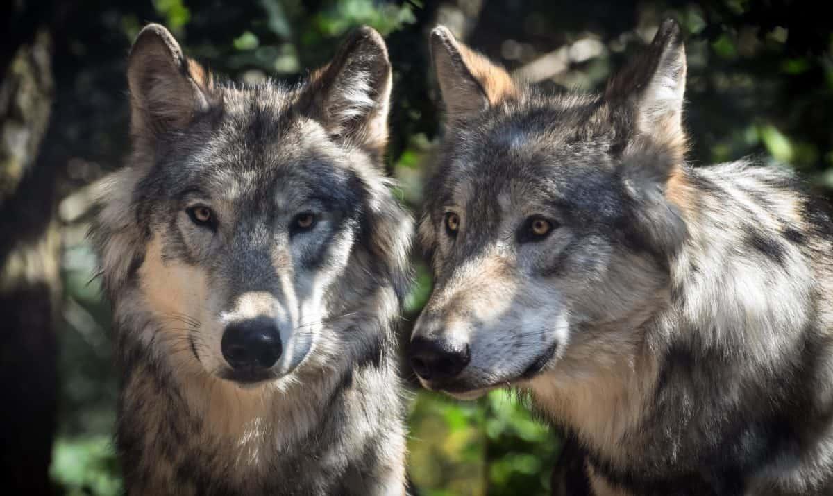 Alemania y el lobo