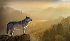 Seguirá la caza del lobo al norte del Duero
