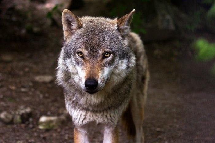 El lobo, futura especie animal que va a ser protegida en España