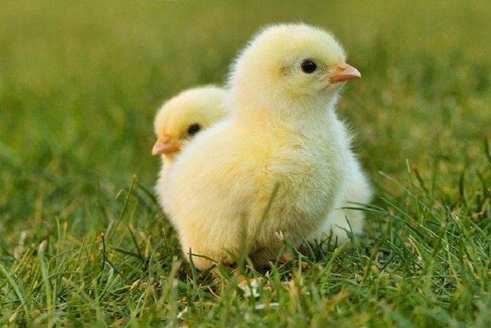 Presencia de la cepa H5N8 de gripe aviar en España