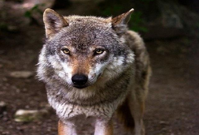ARRECAL opina sobre la inminente sobreprotección del lobo