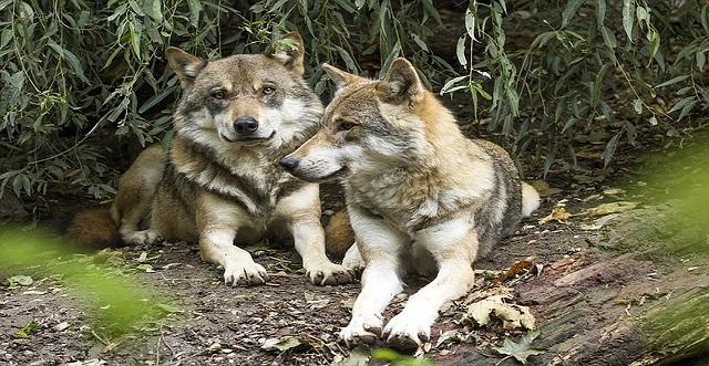 LAS OPAS enfrentadas al MITECO por la legislación sobre el lobo