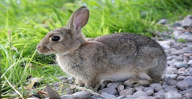 C y LM amplia la emergencia cinegética por daños de conejos en 295 municipios