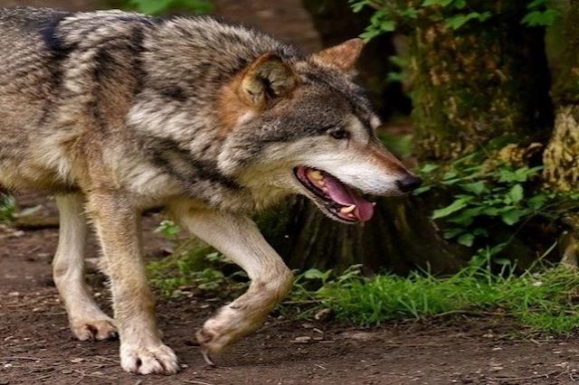 Nuevo plan de gestión del lobo