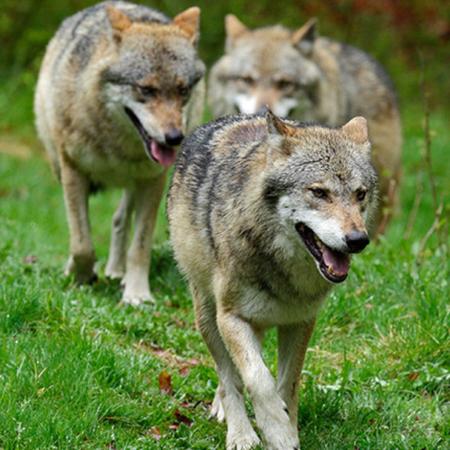 Los dos lobos (II)