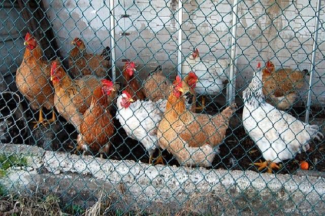 Primer caso de gripe aviar H10N3 en humanos