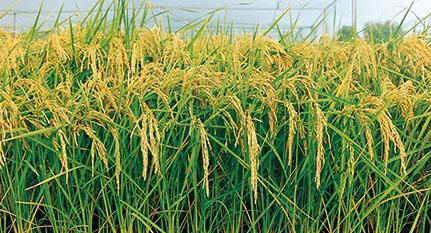 planta arroz