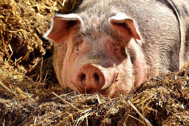 La porcicultura colombiana