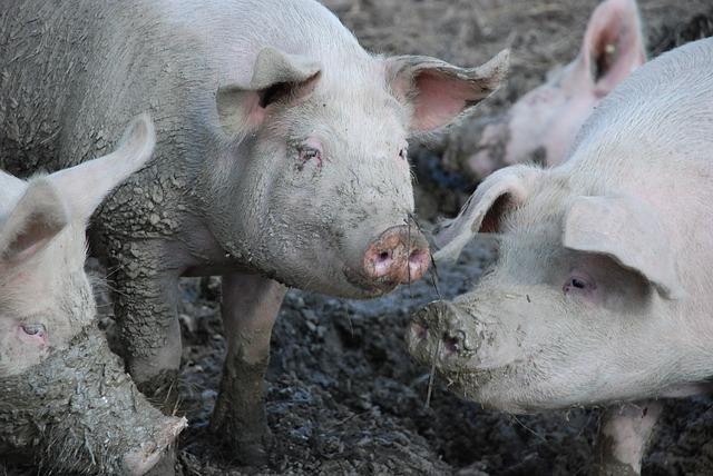 La crisis de sector porcino en China