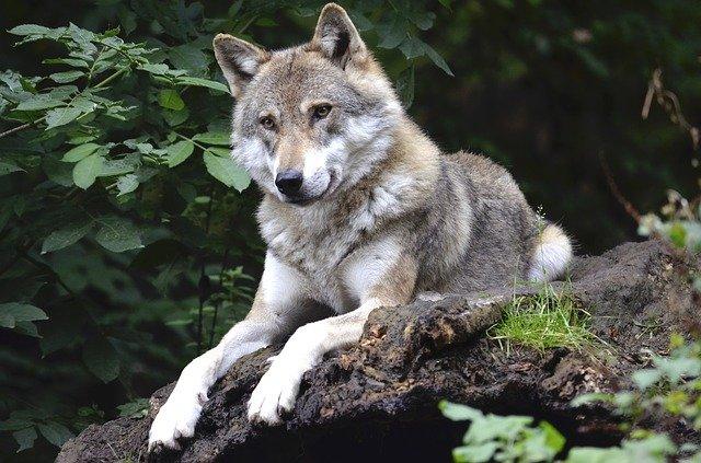 UAGN advierte de la inminente llegada del lobo a Navarra