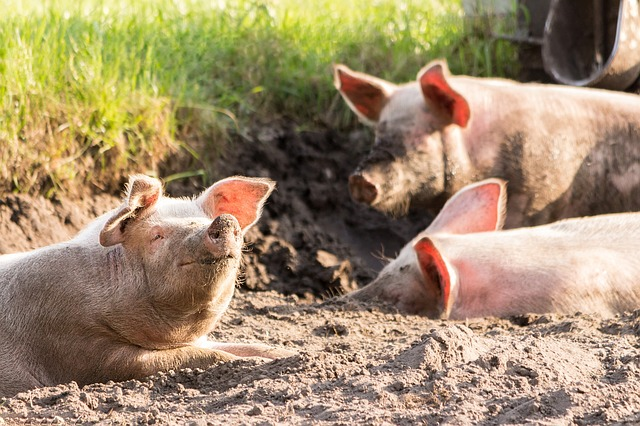 La producción porcina en la U.E. (1 Semestre)