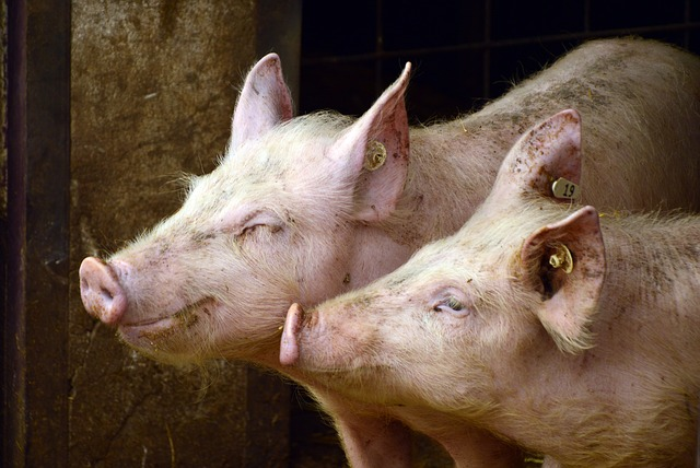 La situación del mercado del porcino de capa blanca